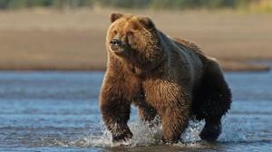 gty_alaskan_brown_bear_jt_120826_wg
